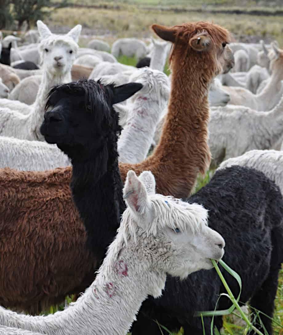 white brown black alpacas