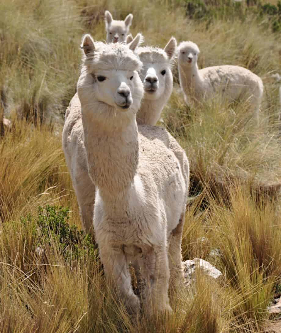 luxury alpaca fibre from peru alpaca wool