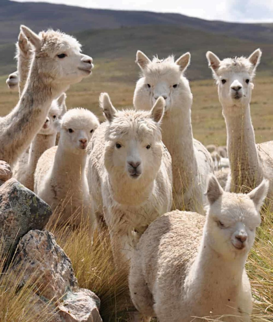 luxury baby alpaca wool