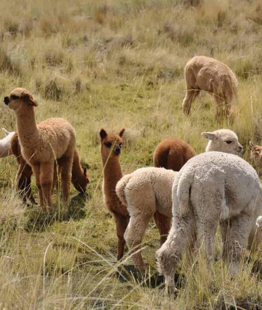 unique alpaca fibre so cosy
