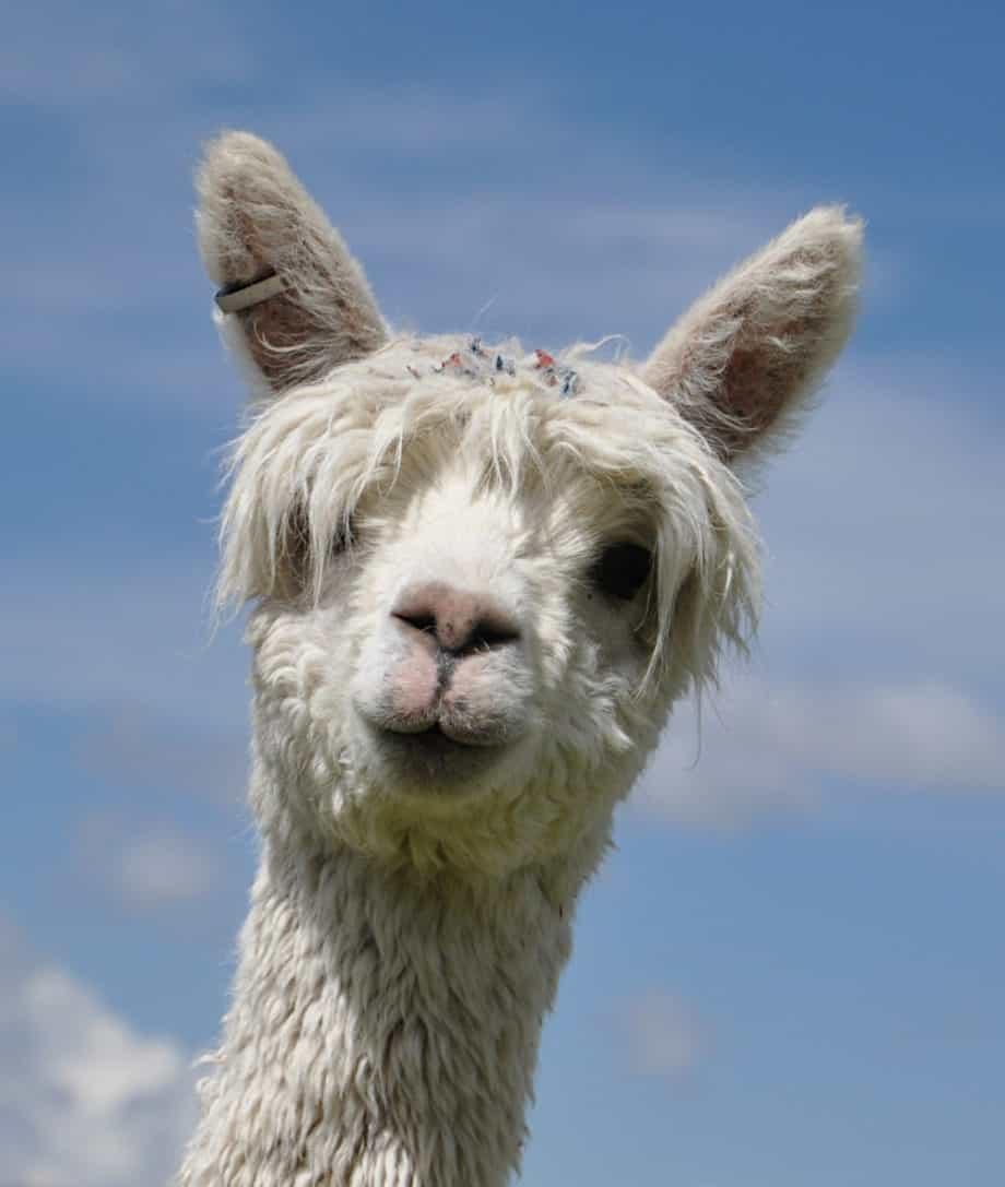 super soft and silky peruvian alpaca wool