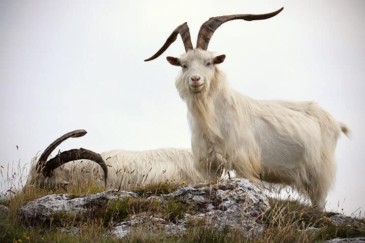 Pair of Kashmir goat