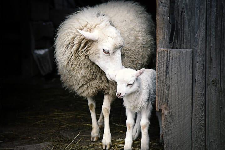 Ein Schaf, wie es sich um sein Lamm kümmert