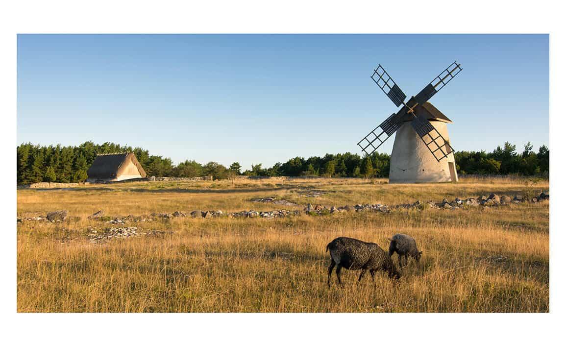 Gotland sheep farm