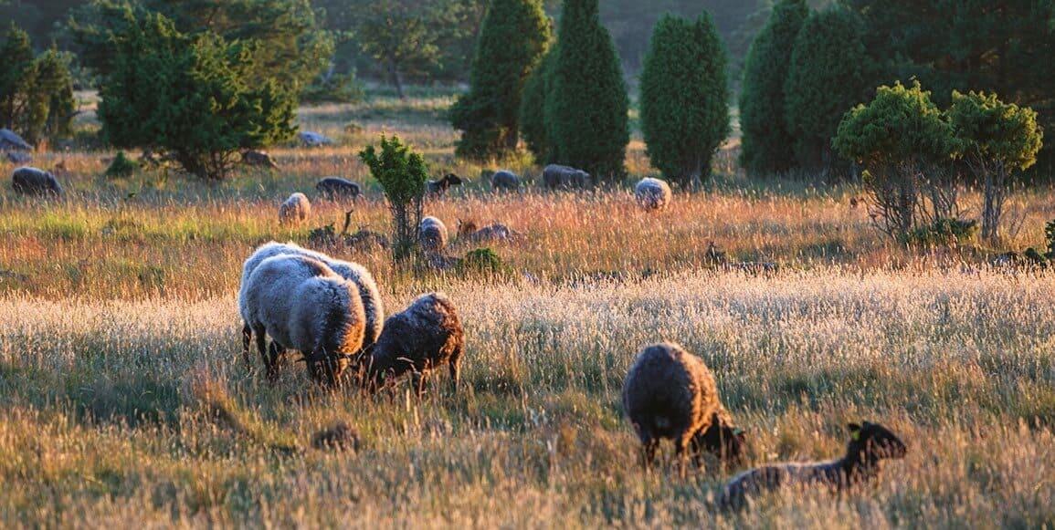 Our 100% Organic Native Gotland Wool