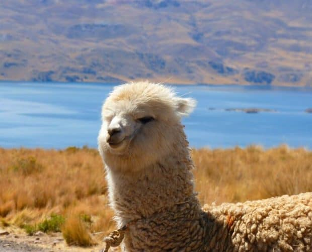 Everything about Alpacas