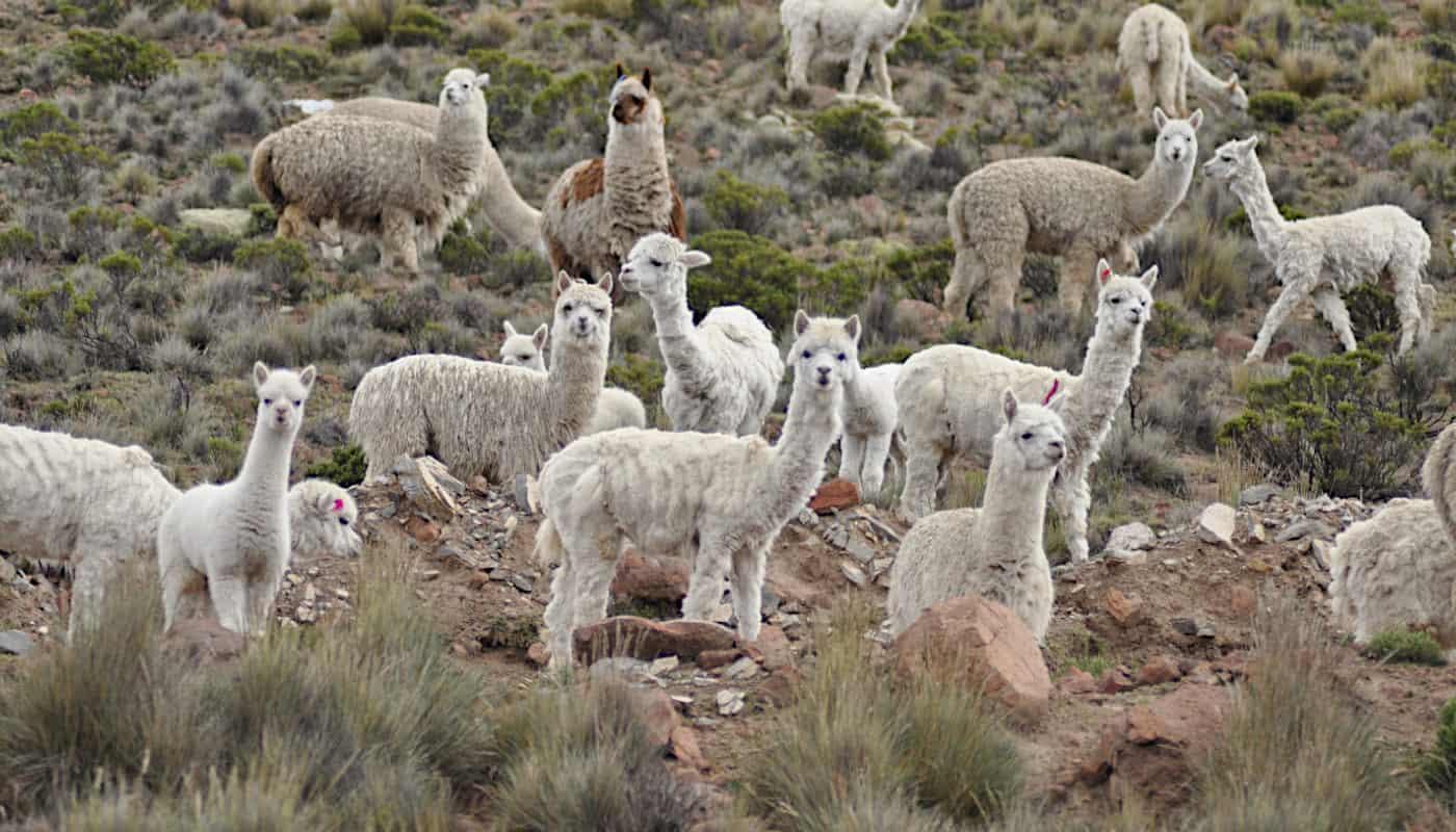 luxury-baby-alpaca-wool-peru-so-cosy-products-online