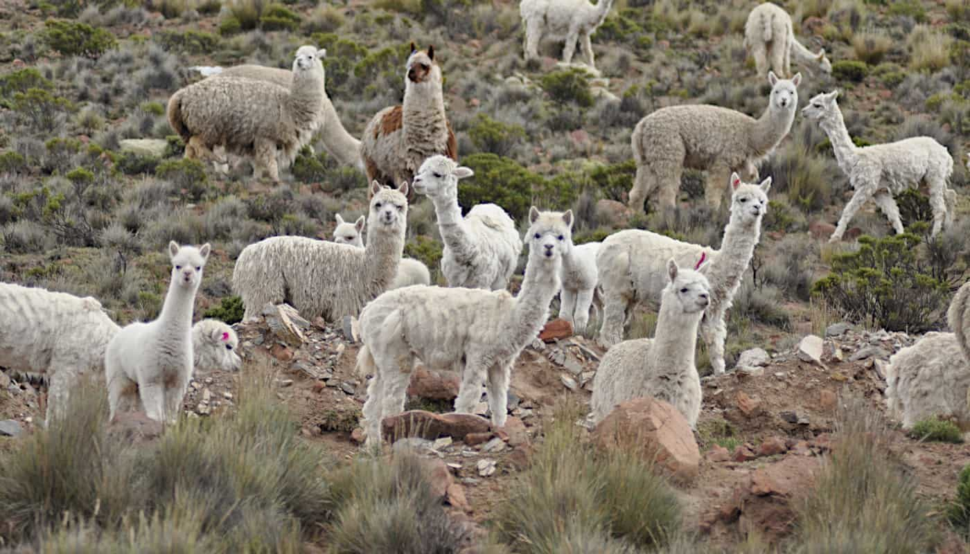 luxury baby alpaca wool peru so cosy products online