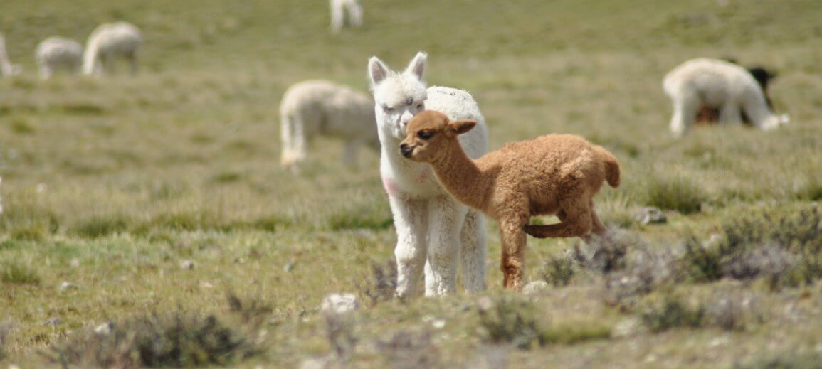 Why So Cosy chooses only baby alpaca wool to make its scarves & shawls