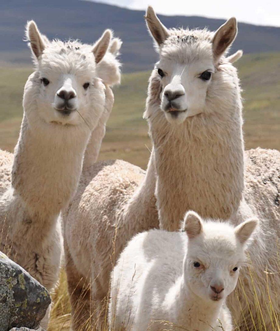 alpacas from peru