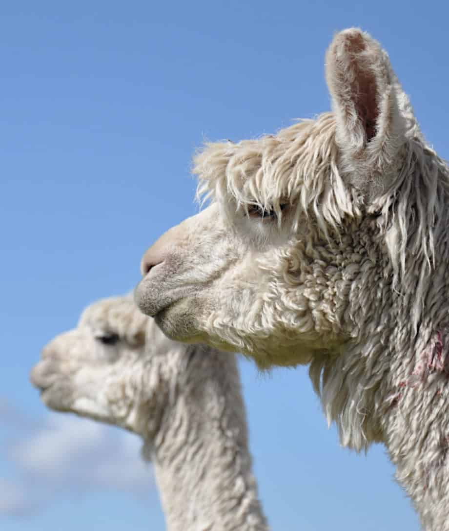 luxurious alpaca wool products from so cosy