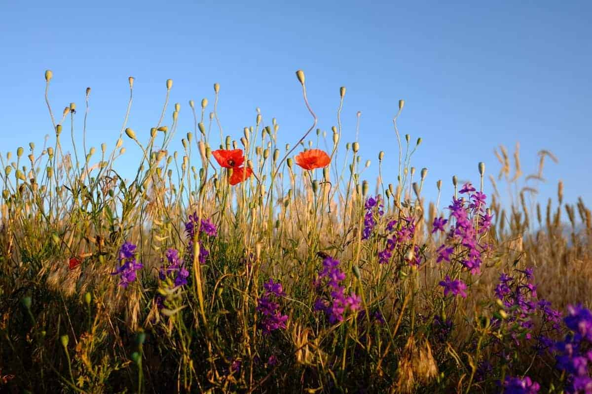 fields and wild flowers