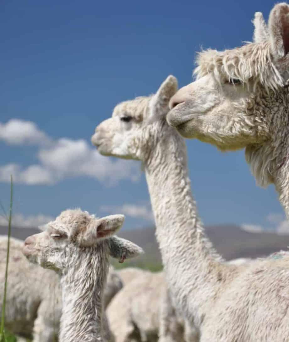 luxury alpaca fibre products from so cosy